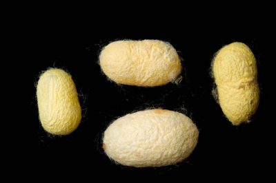 Picture of silk worm (Bombyx mori) cocoons.