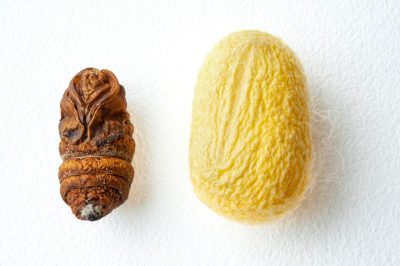 Picture of a silk worm (Bombyx mori) cocoon with dead pupa.
