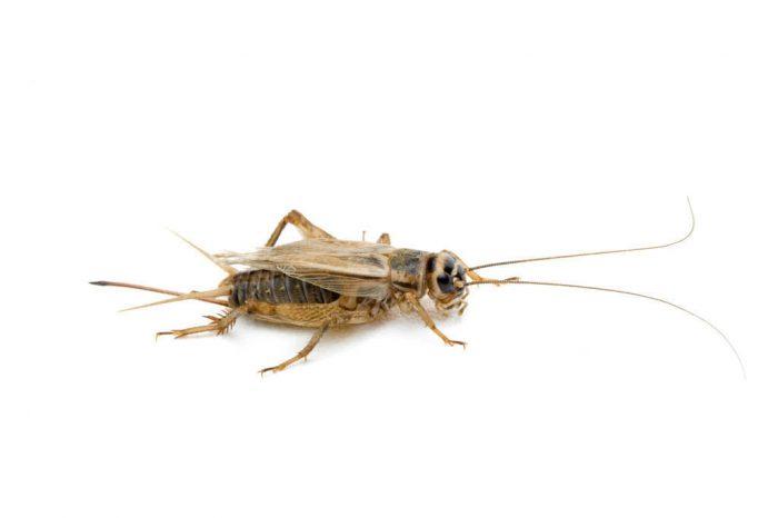 A cricket (Gryllidae sp.).
