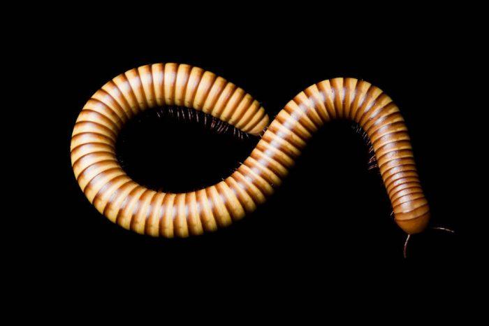 A millipede (Diplopoda sp.).