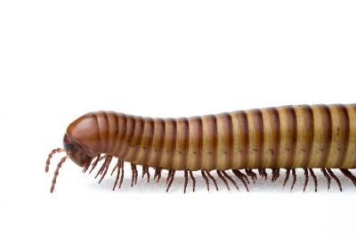 A millipede (Diplopoda sp.).