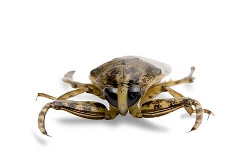 A giant water beetle (Belostomatidae sp.)
