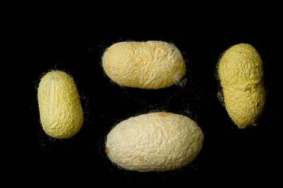 Picture of silkworm (Bombyx mori) coccoons.