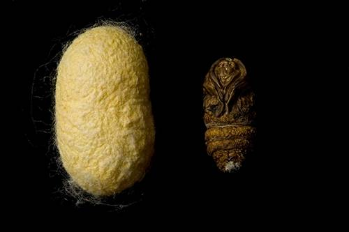 Picture of a silk worm (Bombyx mori) coccoon with a dead pupae next to it.