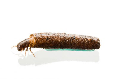 A Platte River caddisfly (Trichoptera) in its larval stage.