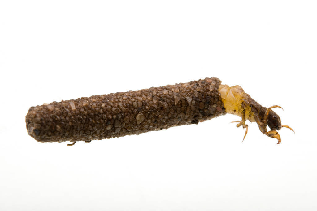 A Platte River caddisfly (Ironoquia plattensis) in its larval stage.