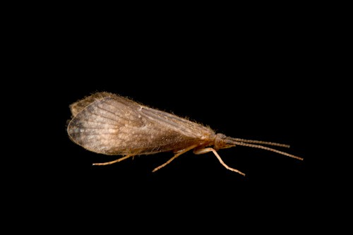 Photo: A studio portrait of a platte river caddisfly, (Ironoquia plattensis), a candidate for the endangered species list.