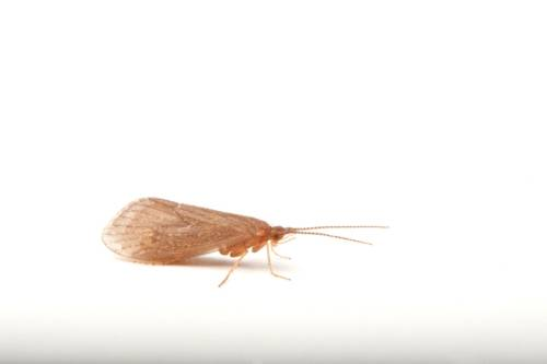 A Platte River caddisfly (Ironoquia plattensis) a candidate for listing under the U.S. Endangered Species Act.