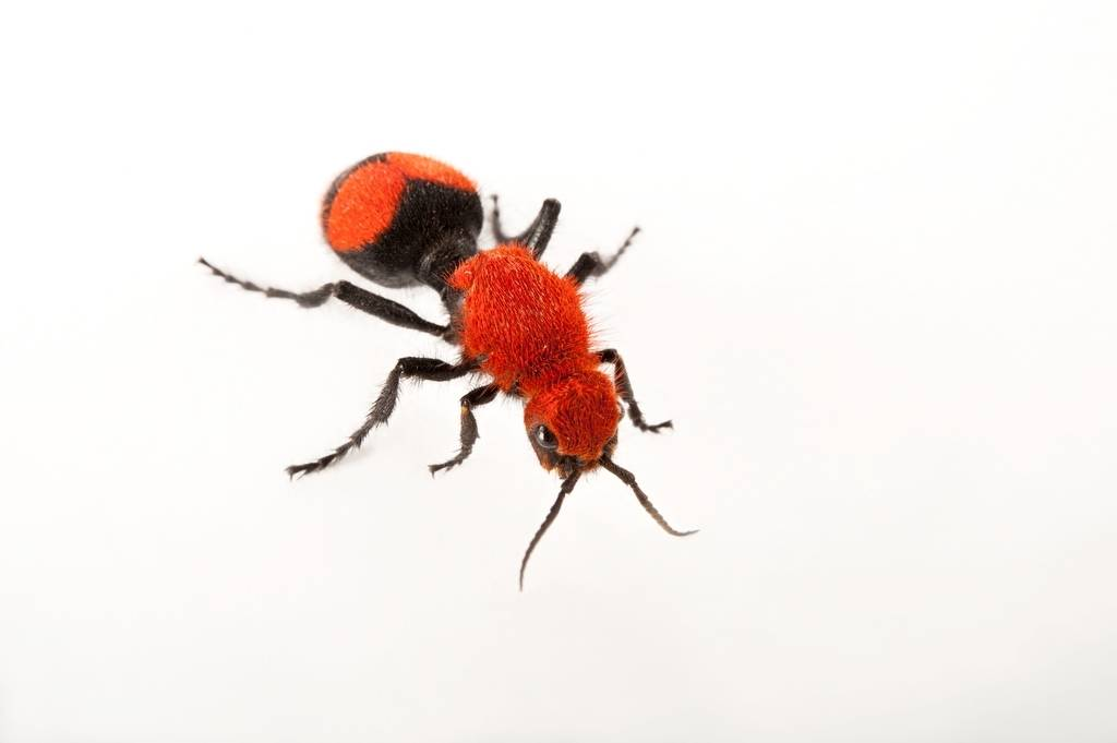 Picture of a red velvet ant (Dasymutilla occidentalis) at the Audubon Zoo in New Orleans.