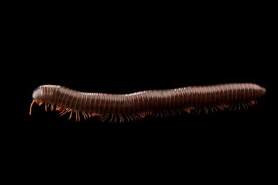 Picture of a North American millipede (Narceus americanus) at the Audubon Insectarium in New Orleans.