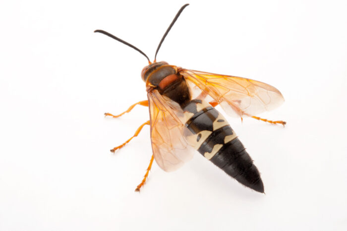 A cicada killer (Sphecius speciosus) at the Audubon Insectarium in New Orleans. This is a species of digger wasp.