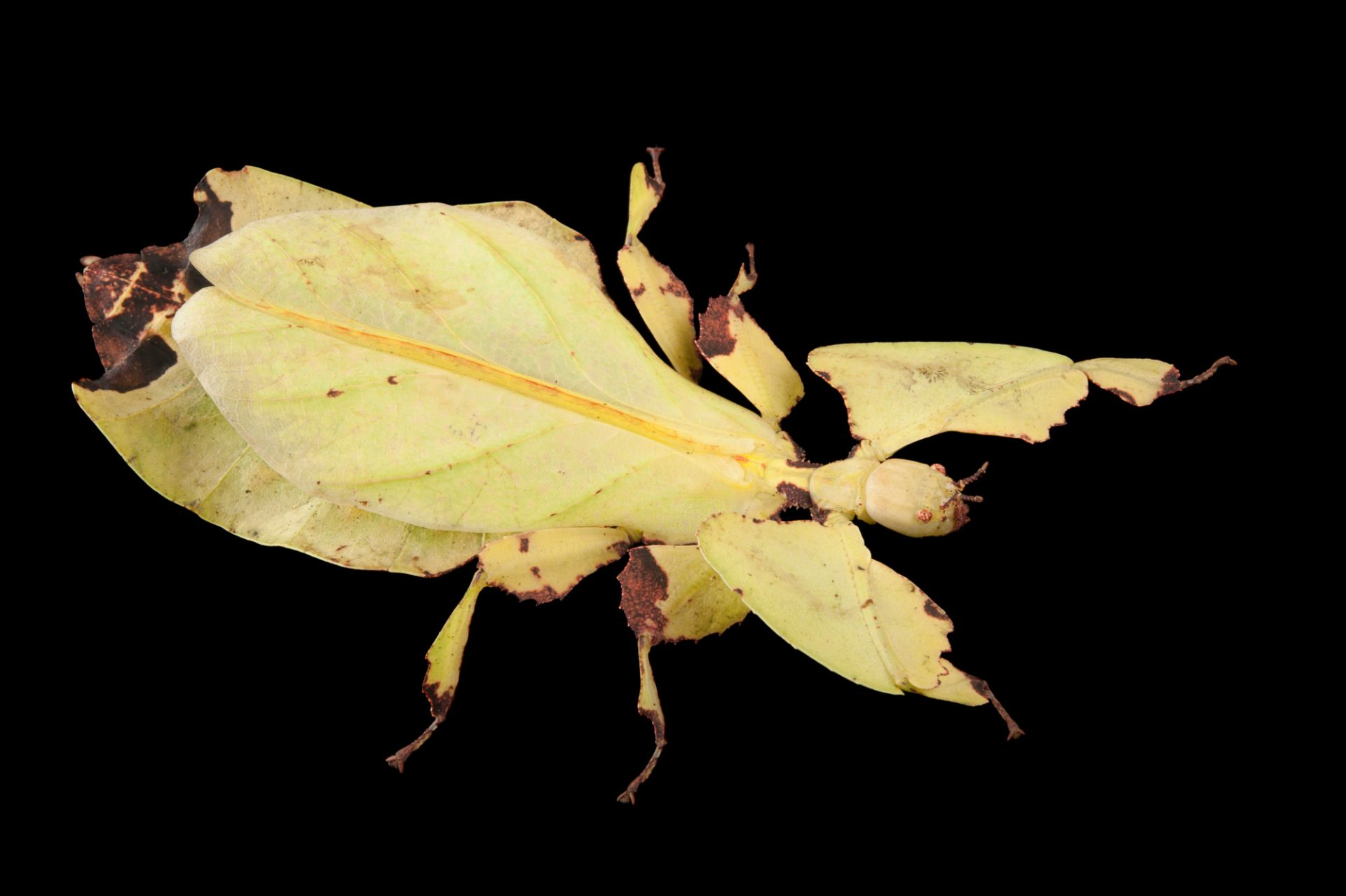 Photo: A walking leaf (Phyllium giganteum) at the Audubon Insectarium in New Orleans.