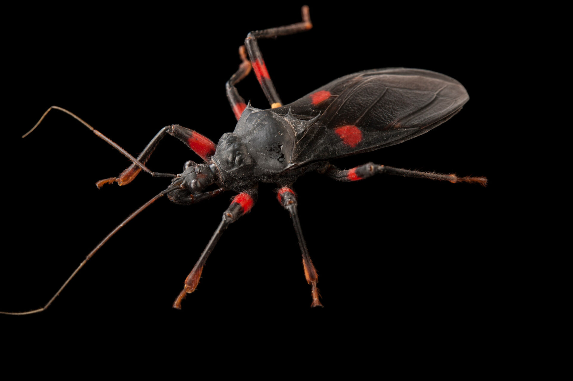 Photo: A red-spotted assasin bug (Platymeris rhadamanthus) at the Audubon Insectarium in New Orleans.