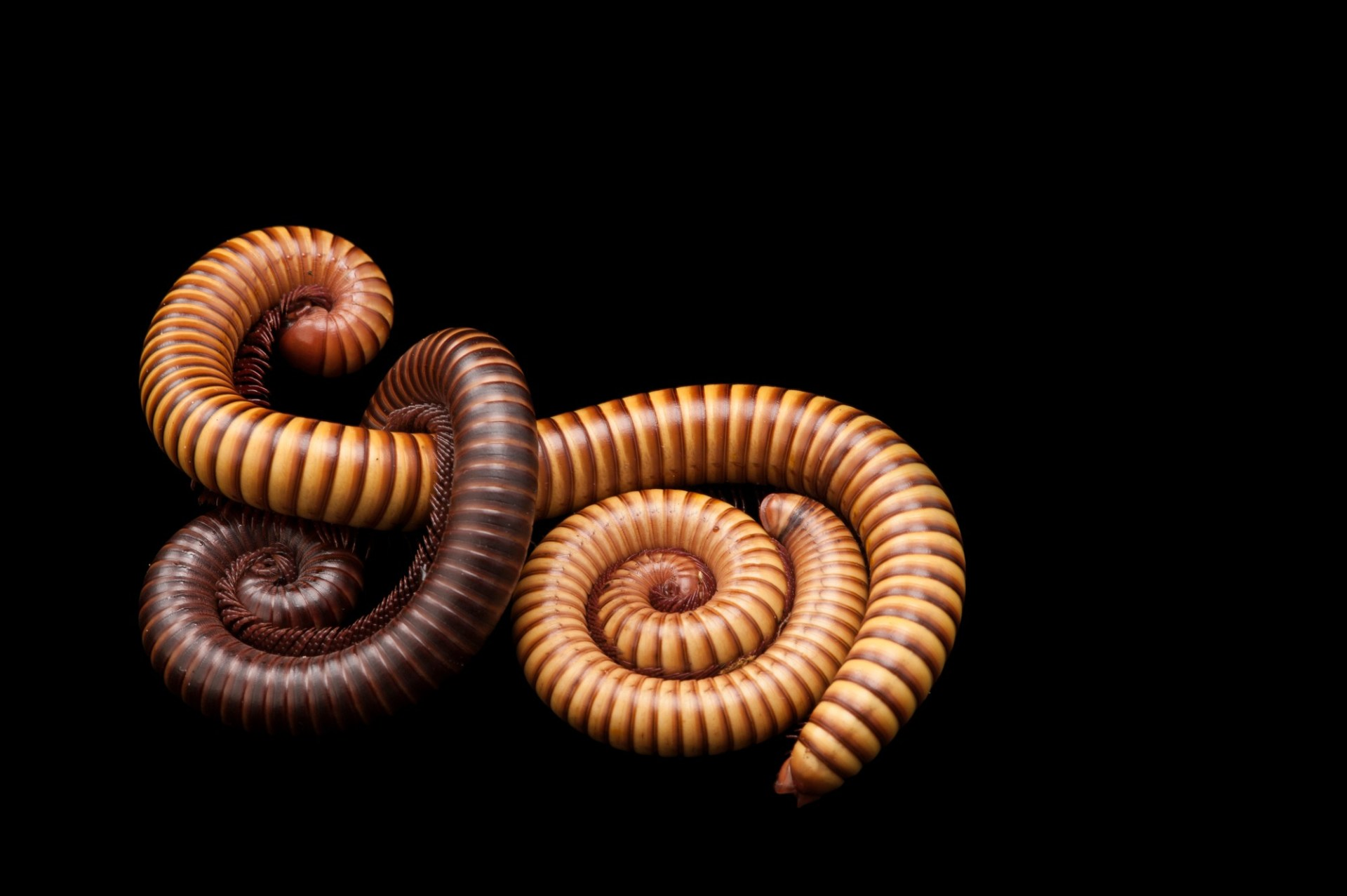 Sonoran Desert millipedes (Orthoporus ornatus) at the Fort Worth Zoo.