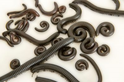 Picture of giant African millipedes (Archispirostreptus gigas) at the Point Defiance Zoo.