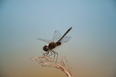 Photo: A dragonfly from Everglades National Park, Florida.