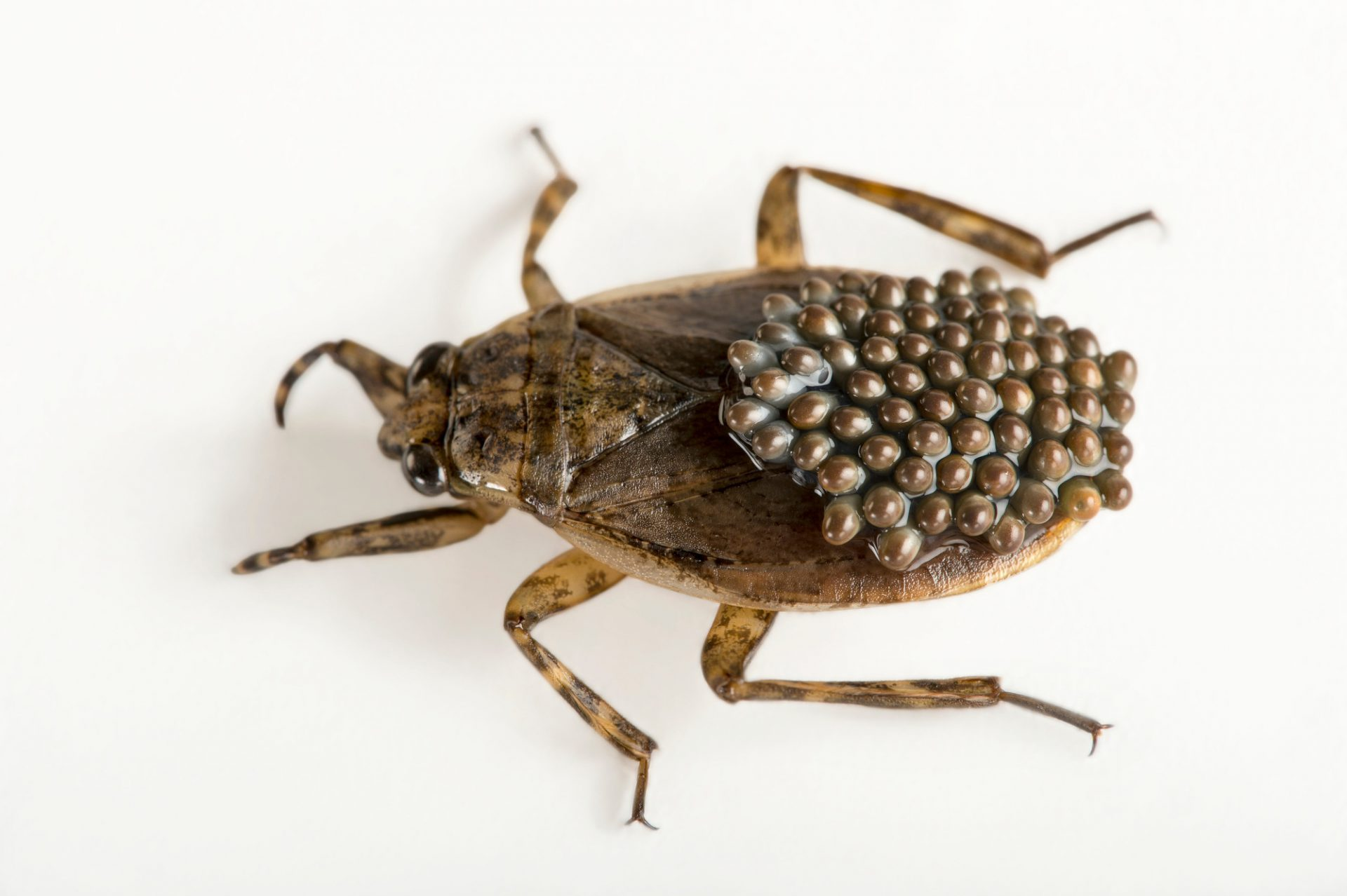 Picture of a male giant water bug (Abedus herberti) carrying eggs on his back at the Cincinnati Zoo.