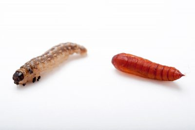 A larva and a pupa of the European corn borer (Ostrinia nubilalis) at Spring Creek Prairie near Denton, Nebraska.
