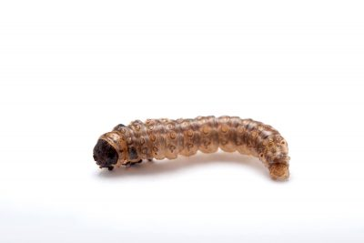 A larva of the European corn borer (Ostrinia nubilalis) at Spring Creek Prairie near Denton, Nebraska.