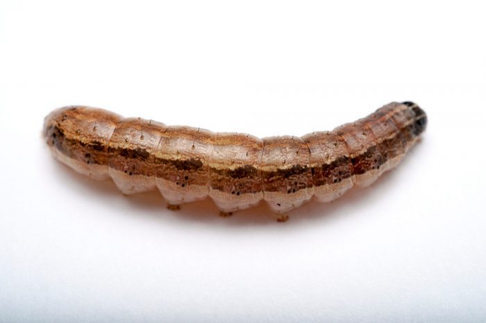 A fall armyworm (spodoptera frugiperda) caterpillar at Spring Creek Prairie near Denton, Nebraska.