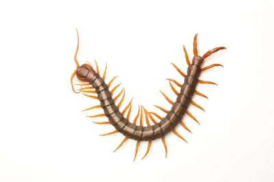 Photo: A centipede found in Vietnam.