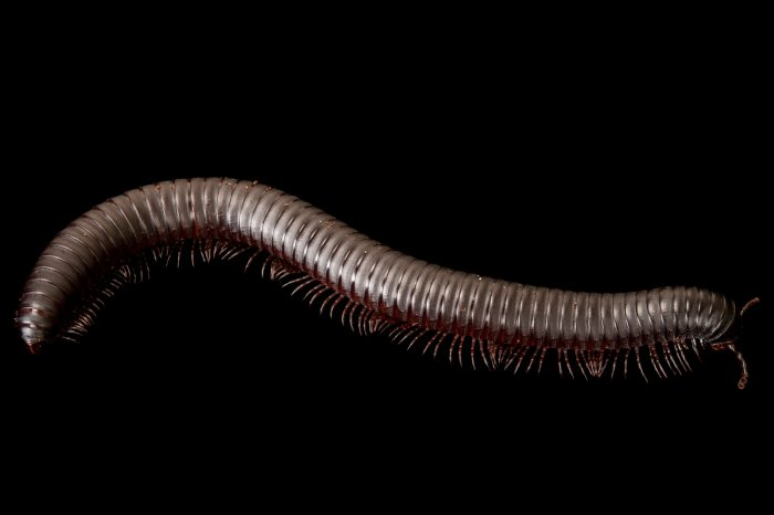 Picture of an African giant millipede (Archispirostreptus gigas) at Rolling Hills Wildlife Adventure near Salina, Kansas.