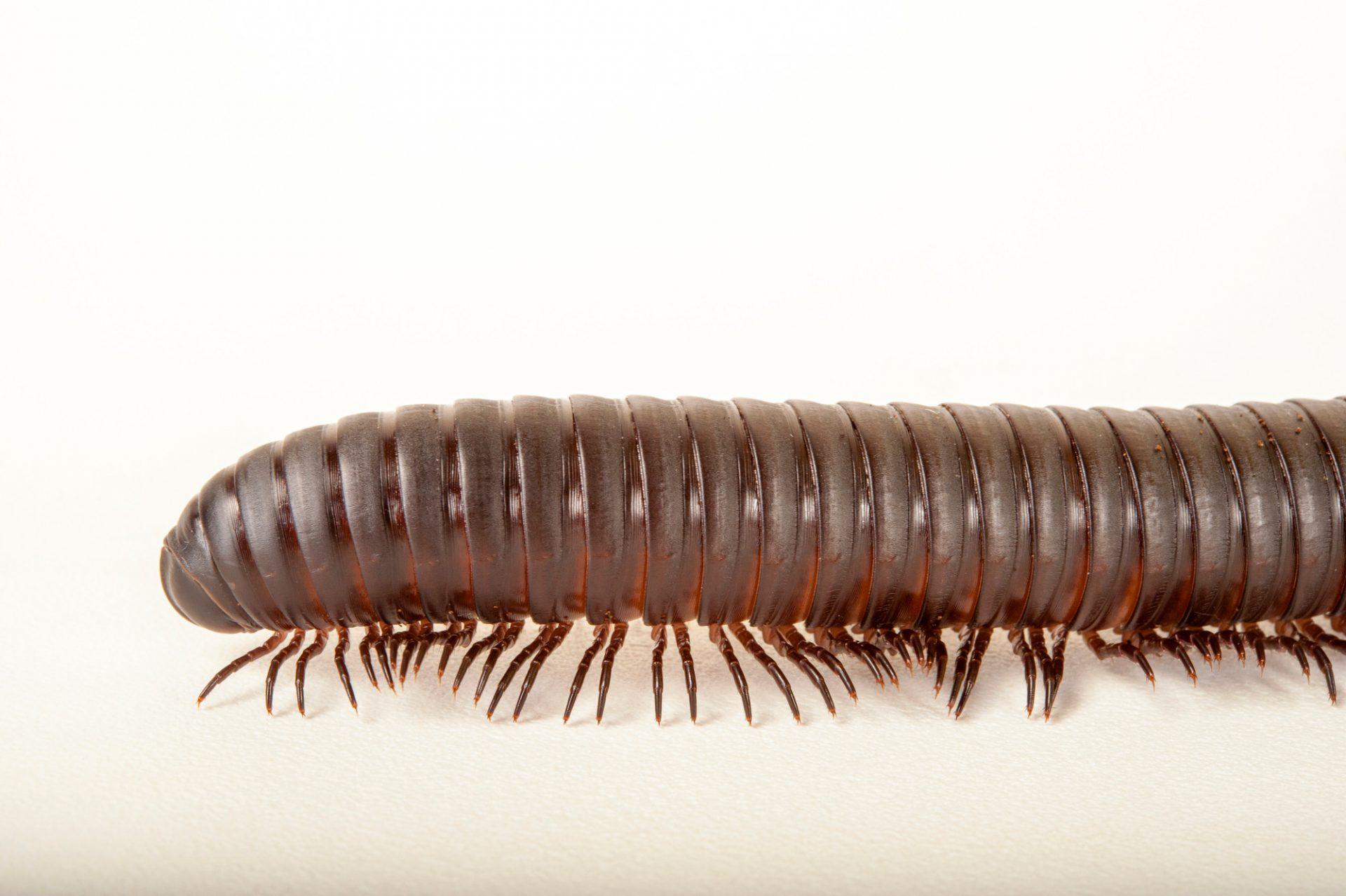 Picture of an African giant millipede (Archispirostreptus gigas) at Rolling Hills Wildlife Adventure near Salina, Kansas.