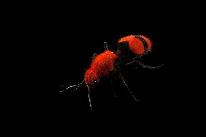 Picture of a red velvet ant (Dasymutilla occidentalis) at the Audubon Zoo in New Orleans, Louisiana.