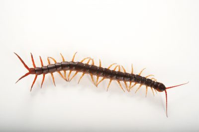 A Vietnamese forest centipede (Scolopendra subspinipes) at the Audubon Zoo in New Orleans, Louisiana.
