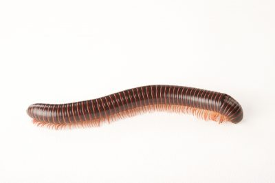 Picture of a North American millipede (Narceus americanus) at the Insectarium in New Orleans, Louisiana.