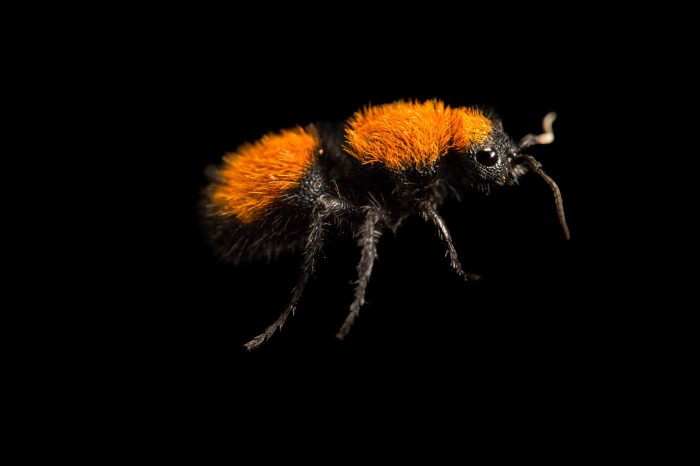 Picture of a red velvet ant (Dasymutilla occidentalis) at the Tulsa Zoo.
