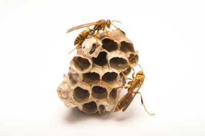 Picture of zebra paper wasps (Polistes exclamans) at the Dallas Zoo.