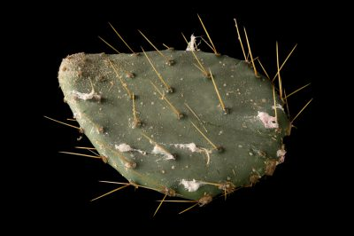 The waxy, white secretions of the prickly pear scale insect (Dactylopius confusus) on a prickly pear cactus leaf at the Dallas Zoo.