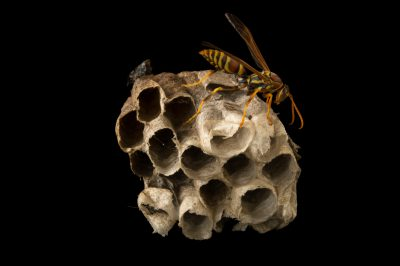 Picture of a zebra paper wasp (Polistes exclamans) at the Dallas Zoo.