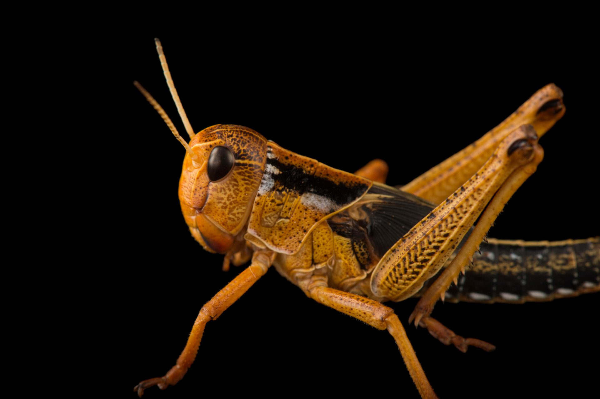 Picture of a migratory locust (Locusta migratoria) at the Auckland Zoo.