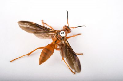Picture of a queen paper wasp (Polistes perplexus) at the St. Louis Zoo.