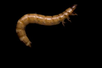 Picture of the larvae of a darkling beetle or superworm (Zophobas morio) at the St. Louis Zoo.