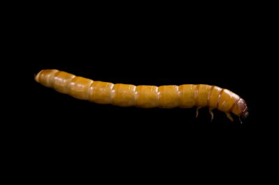 the larvae of a red-backed darkling beetle or false wireworm (Eleodes suturalis) at the St. Louis Zoo.