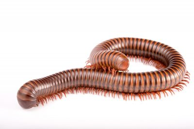 Picture of an Asian millipede (Thyropygus pachyurus) at the St. Louis Zoo.
