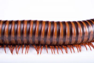 Picture of an Asian millipede (Thyropygus pachyurus) at the St. Louis Zoo.
