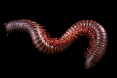Picture of a Florida pink millipede (Narceus americanus) at the St. Louis Zoo.