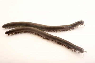 Picture of Texas millipedes (Orthoporus texicolen) at the Central Florida Zoo.