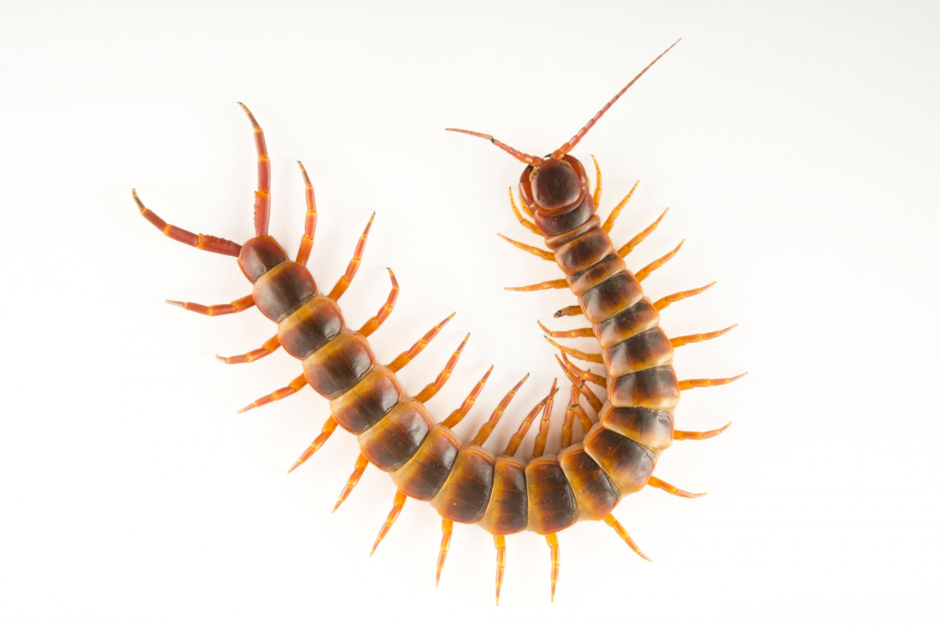 Picture of a Peruvian giant yellow-leg centipede or Amazonian giant centipede (Scolopendra gigantea) at the National Aviary of Colombia.