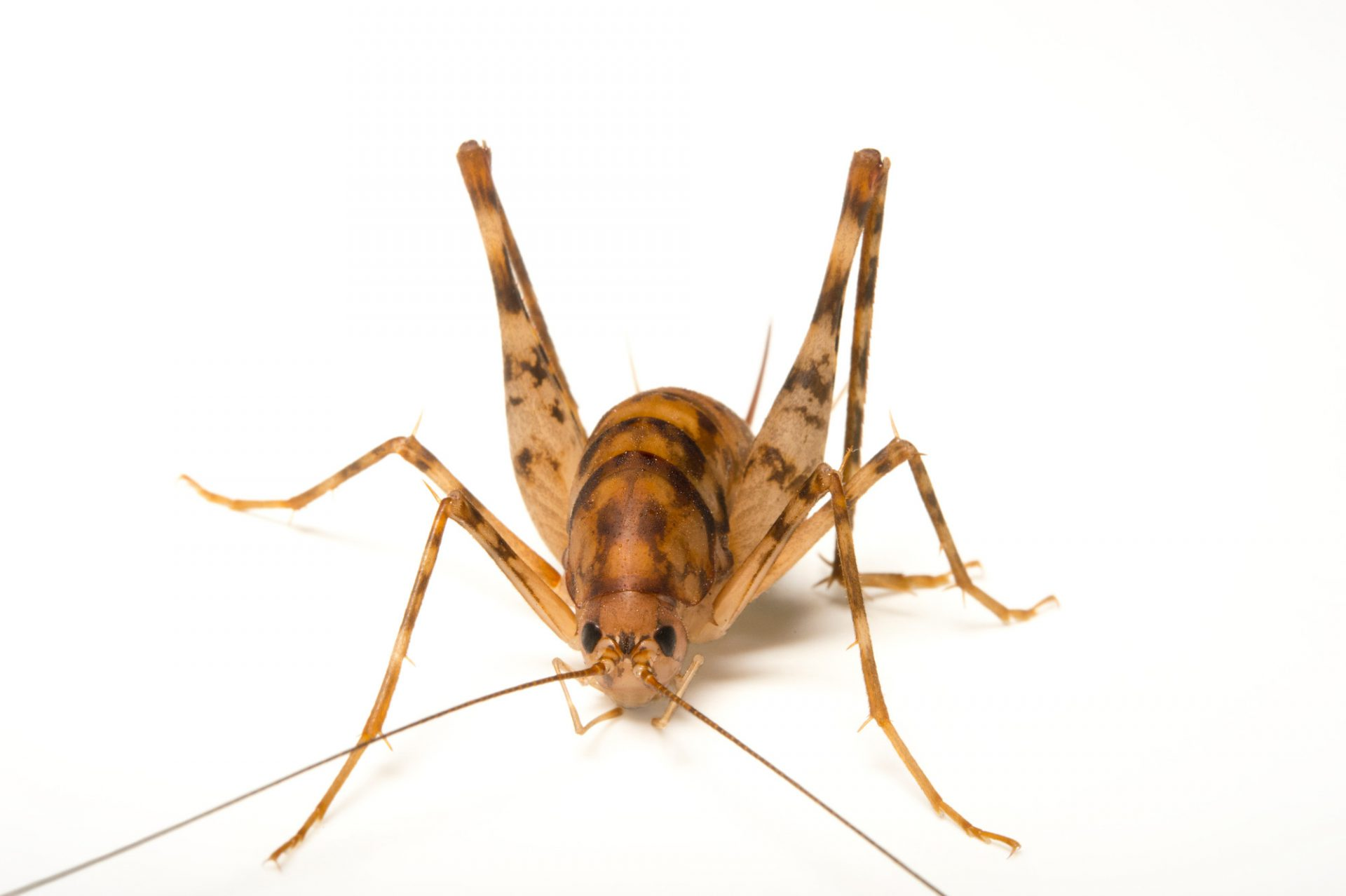 Photo: Cave cricket (Ceuthophilus gracilipes) at the St. Louis Zoo.