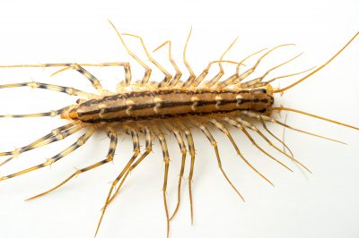 Picture of a house centipede (Scutigera coleoptrata.)