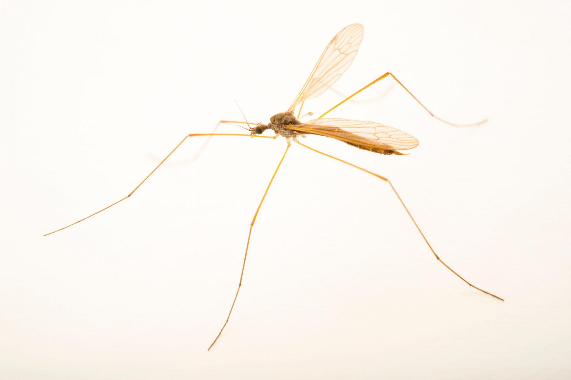 Photo: A crane fly (Tipula sp.) near Marozevo, Madagascar.