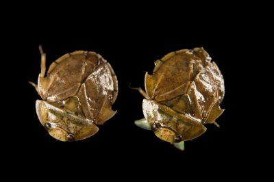Photo: Two batman bugs or Moapa Warm Springs naucorid (Limnocoris moapensis) at Warm Springs Natural Area, Upper Muddy River, NE Clark County, Nevada.