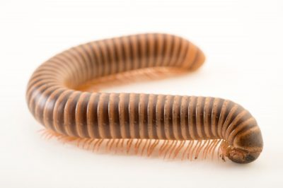 Picture of a Texas millipede (Orthoporus texicolens) at the Topeka Zoo.