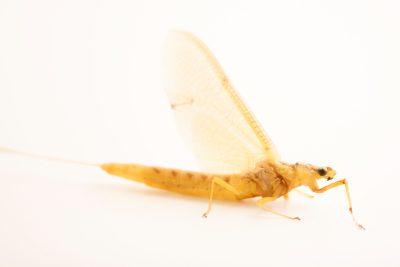 Photo: A hex burrowing mayfly (Hexagenia sp.) near Walton, Nebraska.