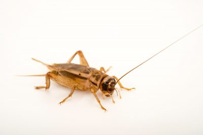 Photo: Acheta domesticus, commonly called the house cricket.